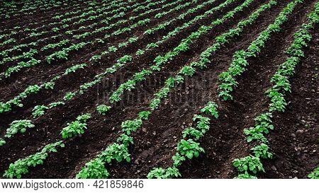 Potato Farm With Rows Of Green Potato Plants