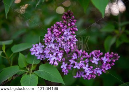 Beautiful Lilac Flowers. Spring Blossom. Blooming Lilac Bush With Tender Tiny Flower. Purple Lilac F
