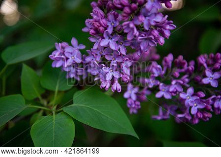 Big Lilac Branch Bloom. Bright Blooms Of Spring Lilacs Bush. Spring Blue Lilac Flowers Close-up On B