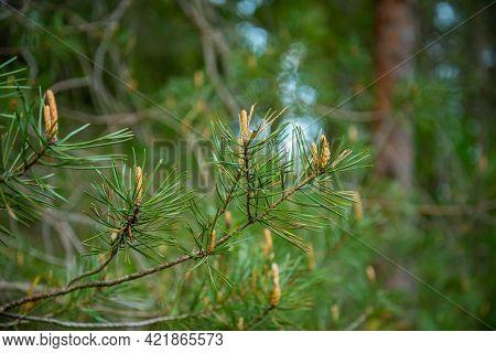 Fresh Spruce Tree Buds Close Up Spring