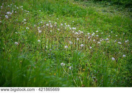 Dandelion Field Fluffy Dandelion Part Of A Meadow, In The Background. Beautiful White Dandelion Flow