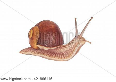 Burgundy Snail On A White Background. Isolated. Helix Pomatia - Burgundy Snail, Roman Snail, Edible