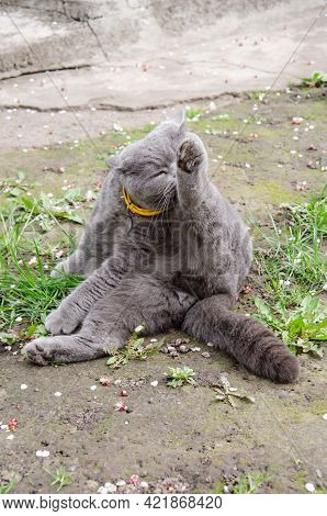 Gray British Cat Sits On The Green Grass And Licks His Paws. Concept Of Home Pets. Spring Background