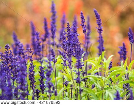 Blue Salvia Farinacea Flowers, Or Mealy Cup Sage. A Beautiful, Brightly Coloured And Eye-catching, F