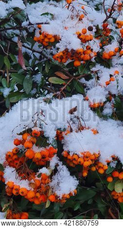 Snow On The Orange Holly Berries And Green Leaves In Winter.