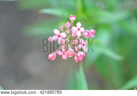 Panama Rose ,arachnothryx Leucophylla Or Panama Rose Flower