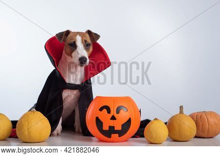 Dog In A Vampire Cloak And Jack-o-lantern On A White Background. Halloween Jack Russell Terrier In C