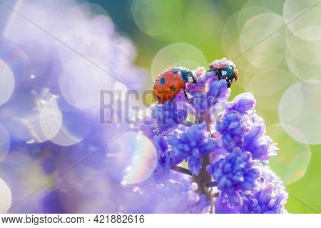Wildlife Insect Ladybug Is Sitting Through Spring Flowers In Meadow. Blurry Background Of Blue Flowe