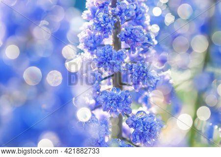 Spring Blue Muscari Flowers  Blooming In Flower Bed. Blurred Background Of Wildflowers Macro Closeup