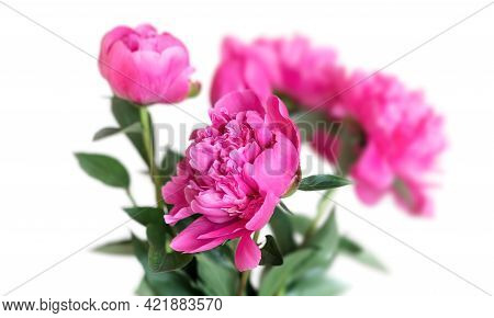 Beautiful Pink Peonie Flower On Light Background. Peony Flowers Bunch Isolated On White Background