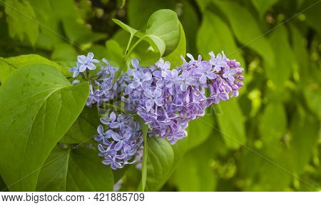 Lilac Blooms. Beautiful Bouquet Of Lilacs Close Up. Blooming Lilacs. Blooming Lilac Bush. Lilac Flow