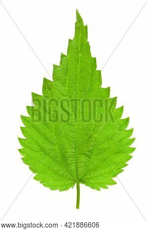 Isolated Single Green Leaf Of A Young Nettle. High Details Studio Shot Image. Png File With Transpar
