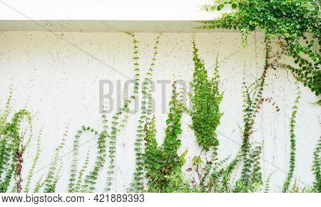 green ivy on white wall background