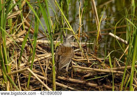 Catbird Fieldfare Turdus Pilaris Hunts On The Coast Of The Village Lake.