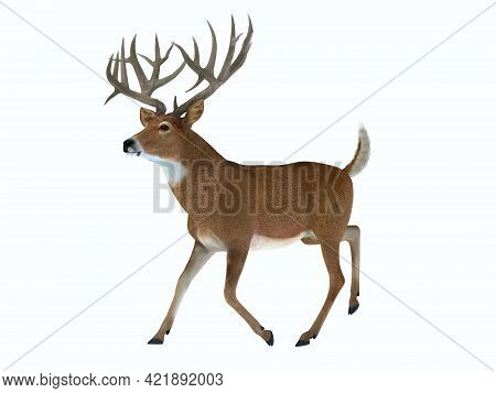 Whitetail Trophy Deer 3d Illustration - The White Tailed Deer Lives In Herds In North And South Amer