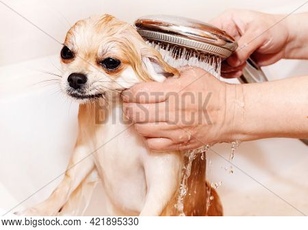 Dog.pomeranian Takes A Shower And Washes Up. The Spitz Stands Submissively Under The Pressure Of The