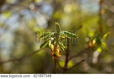 Chestnut, Young Branch In The Spring, In The Park. For Calendar Or Wallpaper. Castanea Sativa, The S