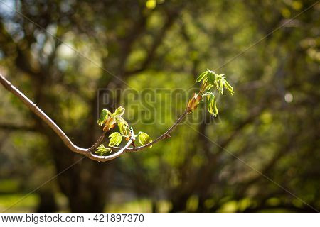 Chestnut, Young Long Branch In The Spring. For Calendar Or Wallpaper. Castanea Sativa, The Sweet Che