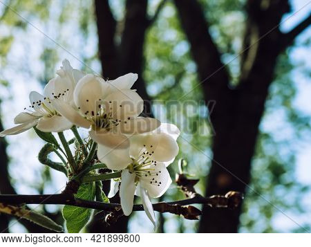 Blooming Pear (pyrus Calleryana). White Spring Pear Flowers On A Sunny Day