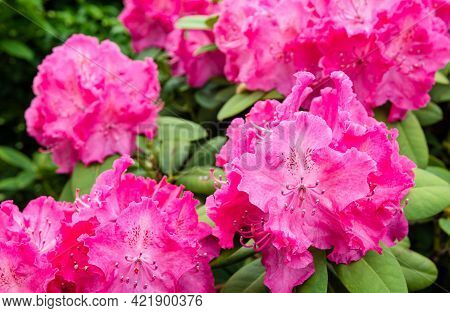 Stamens, Pistil And Petals Of A Pinkish Red Flowering Rhododendron Shrub From Close.