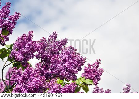 Purple Lilac And Blue Sky Spring Banner With Copy Space. Beautiful Terry Blooming Lilac On A Summer