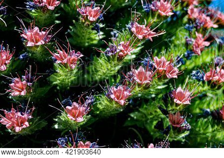 The Flowers Of The Endemic Red Tajinaste Of Tenerife With Their Particular Red Leaves And Blue Pisti