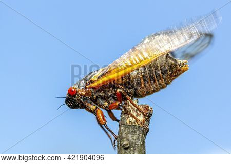 Brood X Group Of Periodical Cicadas Emerge Synchronously Every 17 Years. This Group Is Known As Grea