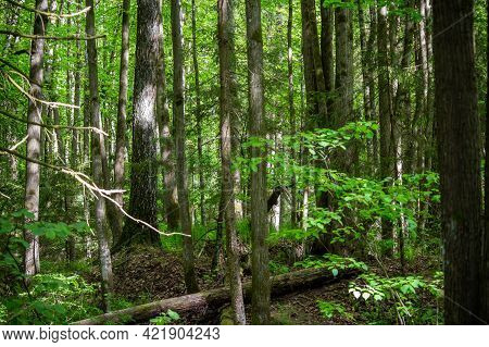 Thickets In A Mixed Forest On A May Day