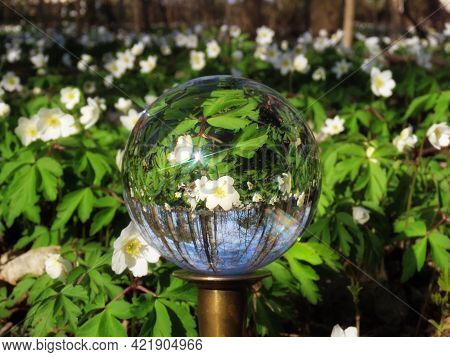 Wood Anemones White Flowers Close Up On A Sunny Spring Day Seen Upside Down In Crystal Ball With Sun
