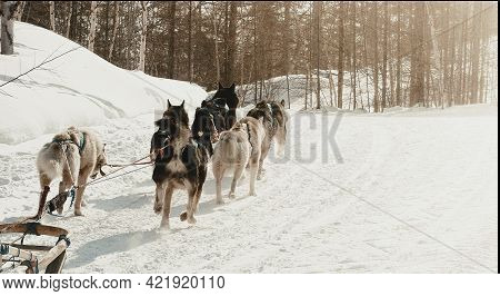 The Musher Hiding Behind Sleigh At Sled Dog Race On Snow In Winter