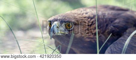 Baner Golden Eagle, Portrait Of A Bird. Keeping Birds Of Prey In Captivity.