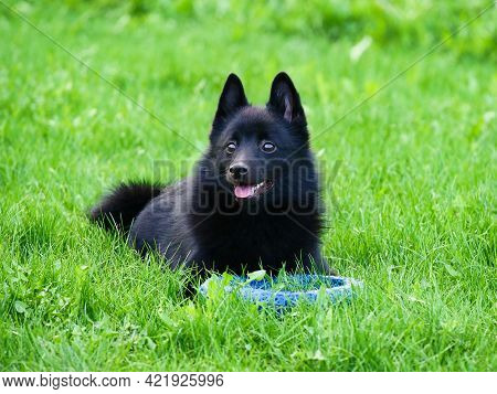 Adorable Belgian Shepherd Schipperke Lies With A Toy On The Green Grass. Bright Sunny Day