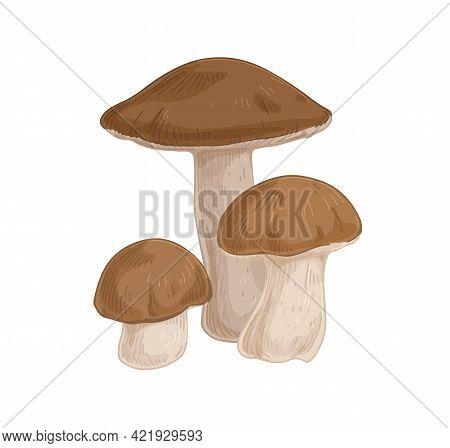 Birch Bolete Mushrooms With Brown Caps. Scaber Stalks Fungi Composition. Fresh Edible Raw Fungus. Or