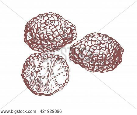 Outlined Black Truffle Tubers Composition With Underground Edible Mushrooms. Engraving Of Precious F