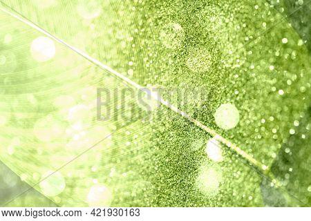 Glittery Calathea Lutea leaf background