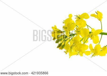Colza Flower. Rapeseed Plant, Colza Rapeseed For Green Energy. Yellow Rape Flower For Healthy Food O