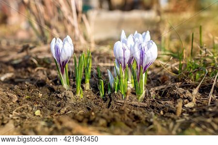 Beautiful Gently Purple With White Blooming Spring Flowers Crocus Growing In Garden. Closeup Flora G
