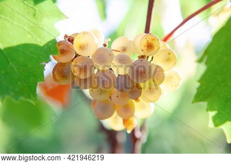 Sweet Uncultivated Grapes Growing In The Autumn