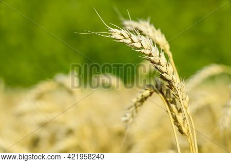 Wheat Ears Close-up In The Field. Summer Background. Cultivation Harvest Of Wheat.