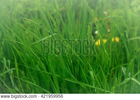 Green Background Of Natural Grass Wheatgrass Close-up