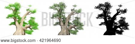 Set collection of Baobab trees, painted, natural and as a black silhouette on white background. Concept or conceptual 3d illustration for nature, ecology and conservation, strength, endurance, beauty