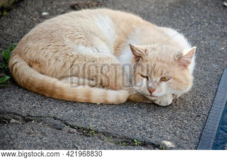 Hungry Shabby Red And White Cat On The Street. Homeless Mutilated Dirty Cat Lies On Sunny Street. Ab