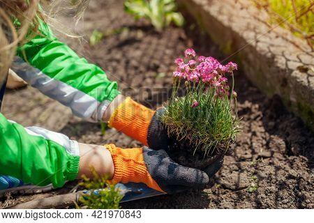 Planting Armeria Maritima Thrift Flowers In Spring Garden. Gardener Holding Sea Pink Blooming Ground