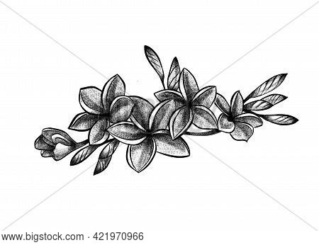 A Buds Of Blooming Plumeria Flowers On A Branch. Isolated Line Art, Stippling Drawing, Black And Whi