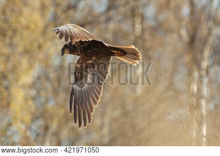 The Western Marsh Harrier Flying In The Birch Tree Forest On Spring Morning In Western Finland.