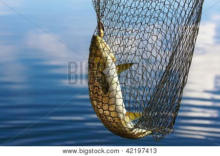 Trout Catch