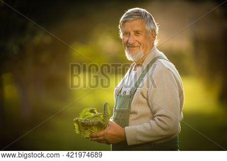 Senior gardener gardening in his permaculture garden -  holding a splendid Savoy Cabbage head