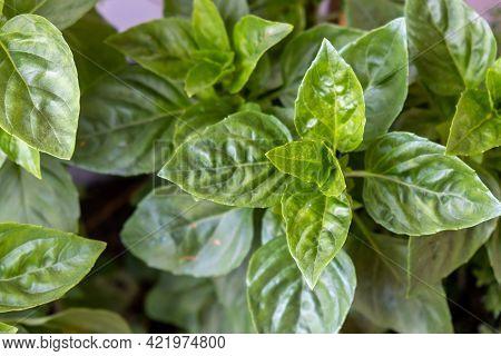 Fresh Green Basil Broadleaf Plant Background.