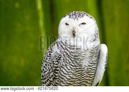 A Frontal Portrait Of A Passive Snowy Owl With Sleepy Mesmerizing Yellow Eyes