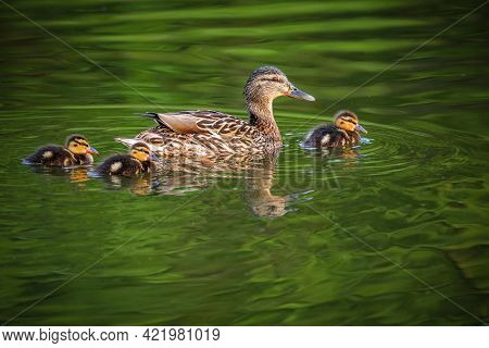 A Wild Brown Mallard Duck, A Mum With Three Cute Little Nestlings Swimming In Green Lake On A Spring